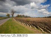 Купить «Layered Beech hedge, Felmingham, Norfolk, UK, April», фото № 25308513, снято 21 октября 2018 г. (c) Nature Picture Library / Фотобанк Лори