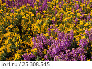 Купить «Flowering Gorse and Heather on Kelling Heath, North Norfolk, UK, August», фото № 25308545, снято 15 октября 2018 г. (c) Nature Picture Library / Фотобанк Лори