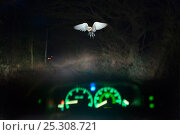 Купить «Barn owl (Tyto alba) in flight, viewed through car windscreen at night, Norfolk, UK, model released. Digital composite», фото № 25308721, снято 25 марта 2019 г. (c) Nature Picture Library / Фотобанк Лори