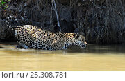Купить «Jaguar (Panthera onca palustris) male wading through water at the shore of the Piquiri River. The Pantanal wetlands of Mato Grosso, Mato Grosso State, Brazil, October.», фото № 25308781, снято 19 сентября 2018 г. (c) Nature Picture Library / Фотобанк Лори