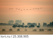 A flock of Greylag Geese (Anser anser) flying in formation above misty fields in the 'Ooijpolder' near Nijmegen. This is a delta area near the river Waal, The Netherlands, March. Стоковое фото, фотограф Edwin Giesbers / Nature Picture Library / Фотобанк Лори
