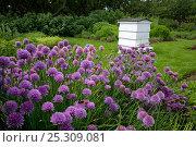 Купить «Chives (Allium sp) flowering in Cottage garden with Beehive, Norfolk, UK, June», фото № 25309081, снято 19 августа 2018 г. (c) Nature Picture Library / Фотобанк Лори