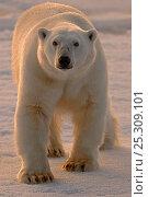 Купить «Polar Bear (Ursus arctos maritimus) large male on pack ice. Svalbard, Norway, Europe, February.», фото № 25309101, снято 20 августа 2019 г. (c) Nature Picture Library / Фотобанк Лори