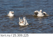 Купить «Three Black headed gulls (Chroicocephalus ridibundus) bathing on water, winter plumage, UK», фото № 25309225, снято 20 июля 2018 г. (c) Nature Picture Library / Фотобанк Лори