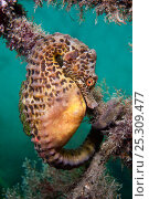 Купить «A Large / Pot Bellied Seahorse (Hippocampus abdominalis) attached to ropes. Manly, Sydney, New South Wales, Australia, March.», фото № 25309477, снято 22 мая 2020 г. (c) Nature Picture Library / Фотобанк Лори