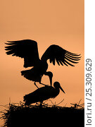 Купить «Breeding pair of White Stork (Ciconia ciconia) mating on nest. The Netherlands, April.», фото № 25309629, снято 20 мая 2019 г. (c) Nature Picture Library / Фотобанк Лори
