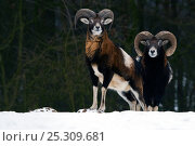 Купить «Two European Mouflon (Ovis musimon) males in snow. The dominant male is to the right, identified by the more developed horns. The Netherlands.», фото № 25309681, снято 15 октября 2018 г. (c) Nature Picture Library / Фотобанк Лори