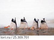 Купить «Four Mallard (Anas platyrhynchos) dabbling for food in icy water. The Netherlands, January.», фото № 25309701, снято 25 апреля 2019 г. (c) Nature Picture Library / Фотобанк Лори