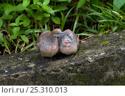 Купить «A pair of Barred Ground Doves / Zebra Doves (Geopelia striata) on a rock. Seychelles, March.», фото № 25310013, снято 23 октября 2018 г. (c) Nature Picture Library / Фотобанк Лори