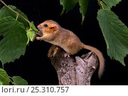 Купить «Dormouse (Muscardinus avellanarius) reaching for Hazel nut. Captive. UK, August.», фото № 25310757, снято 25 мая 2019 г. (c) Nature Picture Library / Фотобанк Лори