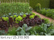 Купить «Vegetable garden with cabbages, lettuce and peas, Norfolk, UK, July», фото № 25310905, снято 17 июля 2018 г. (c) Nature Picture Library / Фотобанк Лори