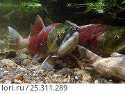 Купить «Sockeye salmon (Oncorhynchus nerka) adult fish spawning in Lake Kuril, Kamchatka, Far East Russia, August», фото № 25311289, снято 22 октября 2019 г. (c) Nature Picture Library / Фотобанк Лори