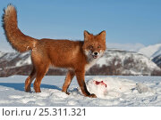 Купить «Red fox (Vulpes vulpes) fox with hare prey camouflaged on snow, Kamchatka, Far east Russia, January», фото № 25311321, снято 7 декабря 2019 г. (c) Nature Picture Library / Фотобанк Лори