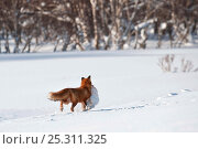 Купить «Red fox (Vulpes vulpes) carrying hare prey in snow, Kamchatka, Far east Russia, January», фото № 25311325, снято 23 марта 2019 г. (c) Nature Picture Library / Фотобанк Лори