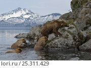 Купить «Kamchatka brown bear (Ursus arctos beringianus) mother and three cubs climbing out of lake onto rocky shore, Kamchatka, Far east Russia, June», фото № 25311429, снято 23 октября 2019 г. (c) Nature Picture Library / Фотобанк Лори
