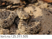 Namaqua Dwarf Adder (Bitis schneideri), the smallest adder in the world. Noup, Namaqualand, Northern Cape, South Africa, January. Стоковое фото, фотограф Tony Phelps / Nature Picture Library / Фотобанк Лори