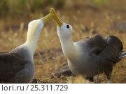 Купить «Waved albatross (Phoebastria irrorata) pair demonstrating beak clapping behaviour, Espanola Island, Galapagos, Critically endangered», фото № 25311729, снято 5 июля 2020 г. (c) Nature Picture Library / Фотобанк Лори