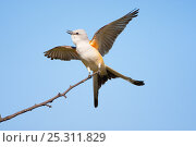 Купить «Scissor-tailed Flycatcher (Tyrannus forficatus) calling and displaying with wings and tail outspread, Wichita Mountains National Wildlife refuge, Oklahoma, USA, May», фото № 25311829, снято 14 августа 2018 г. (c) Nature Picture Library / Фотобанк Лори