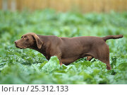 Купить «Domestic dog, German shorthaired pointer, pointing», фото № 25312133, снято 26 марта 2019 г. (c) Nature Picture Library / Фотобанк Лори