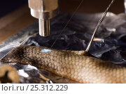 Купить «Researcher Guido Westhoff's Faraday shield aiming to find out if sea snake tail has light receptors - using anesthesized Shaw's Sea Snake (Lapemis curtus...», фото № 25312229, снято 21 сентября 2019 г. (c) Nature Picture Library / Фотобанк Лори