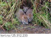 Купить «Brown rats (Rattus norvegicus) at edge of duck pond, Norfolk, UK», фото № 25312233, снято 16 октября 2018 г. (c) Nature Picture Library / Фотобанк Лори