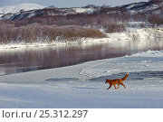 Купить «Red fox (Vulpes vulpes) crossing winter landscape beside river, Kamchatka, Far east Russia, January 2008», фото № 25312297, снято 17 октября 2019 г. (c) Nature Picture Library / Фотобанк Лори