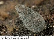 Купить «Mass of spawn on an infaunal Head-shield slug (Philine sp). Philinids live in clean sand where they ingest bivalves with their radula and crush them with...», фото № 25312553, снято 23 июля 2018 г. (c) Nature Picture Library / Фотобанк Лори