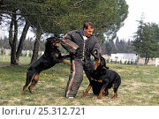 Domestic dog, Rottweiler, man training two dogs to attack. Стоковое фото, фотограф Yves Lanceau / Nature Picture Library / Фотобанк Лори