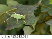 Купить «Oak Bush Cricket (Meconema thalassinum) female on Oak leaf preening antennae. Captive, UK, August.», фото № 25313081, снято 22 июля 2018 г. (c) Nature Picture Library / Фотобанк Лори