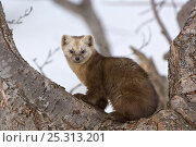 Купить «Japanese sable (Martes zibellina) resting in tree, Kamchatka, far east Russia, May», фото № 25313201, снято 18 октября 2019 г. (c) Nature Picture Library / Фотобанк Лори