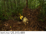 Купить «Newton's Golden Bowerbird (Prionodura newtoniana) male at his bower, a large stick structure decorated with lichens and flowers. Rainforest of the Paluma...», фото № 25313489, снято 19 июля 2018 г. (c) Nature Picture Library / Фотобанк Лори