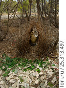 Купить «Great Bowerbird (Chlamydera nuchalis) male at his bower decorated with green glass, white plastic, grey plastic, and other decorations. This bower is very...», фото № 25313497, снято 19 июля 2018 г. (c) Nature Picture Library / Фотобанк Лори
