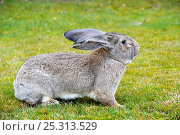 Купить «Flemish giant rabbit (Oryctolagus cuniculus) elderly, portrait sitting on grass, France», фото № 25313529, снято 23 марта 2019 г. (c) Nature Picture Library / Фотобанк Лори