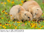 Купить «Black-tailed Prairie Dogs (Cynomys ludovicianus), two young animals feeding together, Wichita Mountains National Wildlife Refuge, Oklahoma, USA, May», фото № 25313613, снято 14 августа 2018 г. (c) Nature Picture Library / Фотобанк Лори