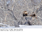 Купить «Wolverine (Gulo gulo) on fallen tree beside den, Kamchatka, Far East Russia, April 2008», фото № 25313673, снято 24 июня 2019 г. (c) Nature Picture Library / Фотобанк Лори
