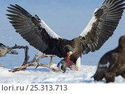 Купить «Steller's sea eagle (Haliaeetus pelagicus) feeding on Sockeye salmon, Lake Kuril, Kamchatka, Far East Russia, January», фото № 25313713, снято 18 октября 2019 г. (c) Nature Picture Library / Фотобанк Лори