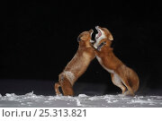 Купить «Red fox (Vulpes vulpes) pair showing aggression after mating at night,  Kamchatka, Far east Russia, Febuary», фото № 25313821, снято 19 августа 2019 г. (c) Nature Picture Library / Фотобанк Лори