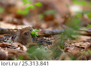 Купить «Bank Vole (Myodes / Clethrionomys glareolus) taking a mouthful of Beech leaves into its burrow. Bayerischer Wald National Park, Germany.», фото № 25313841, снято 29 февраля 2020 г. (c) Nature Picture Library / Фотобанк Лори