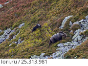 Купить «European Brown Bear (Ursus arctos) sow with cub feeding on blueberries (Vaccinium myrtillus) in a mountain meadow. Western Tatras, Slovakia, September.», фото № 25313981, снято 26 сентября 2018 г. (c) Nature Picture Library / Фотобанк Лори
