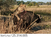 Купить «African lions (Panthera leo) attacking old Buffalo (Syncerus caffer) Okavango delta, Botswana, July», фото № 25314005, снято 14 декабря 2019 г. (c) Nature Picture Library / Фотобанк Лори