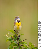 Купить «Dickcissel (Spiza americana), male singing in spring, Wichita Mountains National Wildlife Refuge, Oklahoma, USA, May», фото № 25314289, снято 14 августа 2018 г. (c) Nature Picture Library / Фотобанк Лори