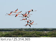 Купить «A group of Greater flamingos (Phoenicopterus ruber) fly low over salt tolerant scrubland and lagoons, The Camargue, France, May.», фото № 25314365, снято 26 марта 2019 г. (c) Nature Picture Library / Фотобанк Лори