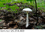 Купить «Destroying angel (Amanita virosa) Cap Breton Highland National Park, Nova Scotia, Canada, September», фото № 25314469, снято 16 января 2019 г. (c) Nature Picture Library / Фотобанк Лори