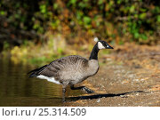 Купить «Canada goose (Branta canadensis) at the edge of water, La Mauricie National Park, Quebec, Canada, October», фото № 25314509, снято 2 июня 2020 г. (c) Nature Picture Library / Фотобанк Лори