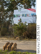 Wild boar (Sus scrofa) sow and piglets underneath large billboard of a building company, Berlin, Germany, March. Стоковое фото, фотограф Florian Möllers / Nature Picture Library / Фотобанк Лори