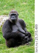 Купить «Western lowland gorilla (Gorilla gorilla gorilla) mother suckling baby, captive, Endangered», фото № 25315489, снято 26 мая 2019 г. (c) Nature Picture Library / Фотобанк Лори