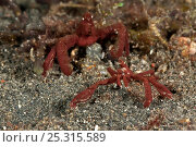 Spider crabs (two species of Achaeus sp). Lembeh Strait, North Sulawesi... Стоковое фото, фотограф Jurgen Freund / Nature Picture Library / Фотобанк Лори