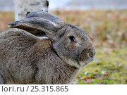 Купить «Flemish giant rabbit (Oryctolagus cuniculus) head portrait, France, January», фото № 25315865, снято 23 марта 2019 г. (c) Nature Picture Library / Фотобанк Лори