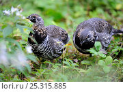 Купить «Two Spruce grouse (Falcipennis canadensis) females foraging for food in the forest, Cap Breton Highlands National Park, Nova Scotia, Canada, September», фото № 25315885, снято 5 июля 2020 г. (c) Nature Picture Library / Фотобанк Лори