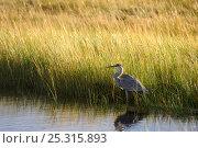 Купить «Great blue heron (Ardea herodias) in marsh, Prince Edward Island National Park, Canada, October», фото № 25315893, снято 23 марта 2019 г. (c) Nature Picture Library / Фотобанк Лори